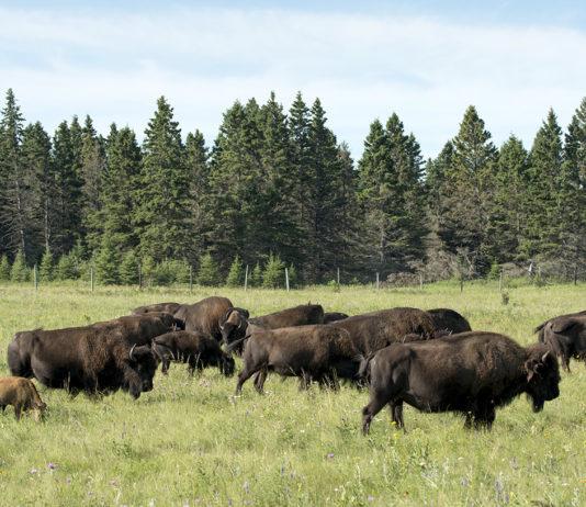 Buffalo Manitoba