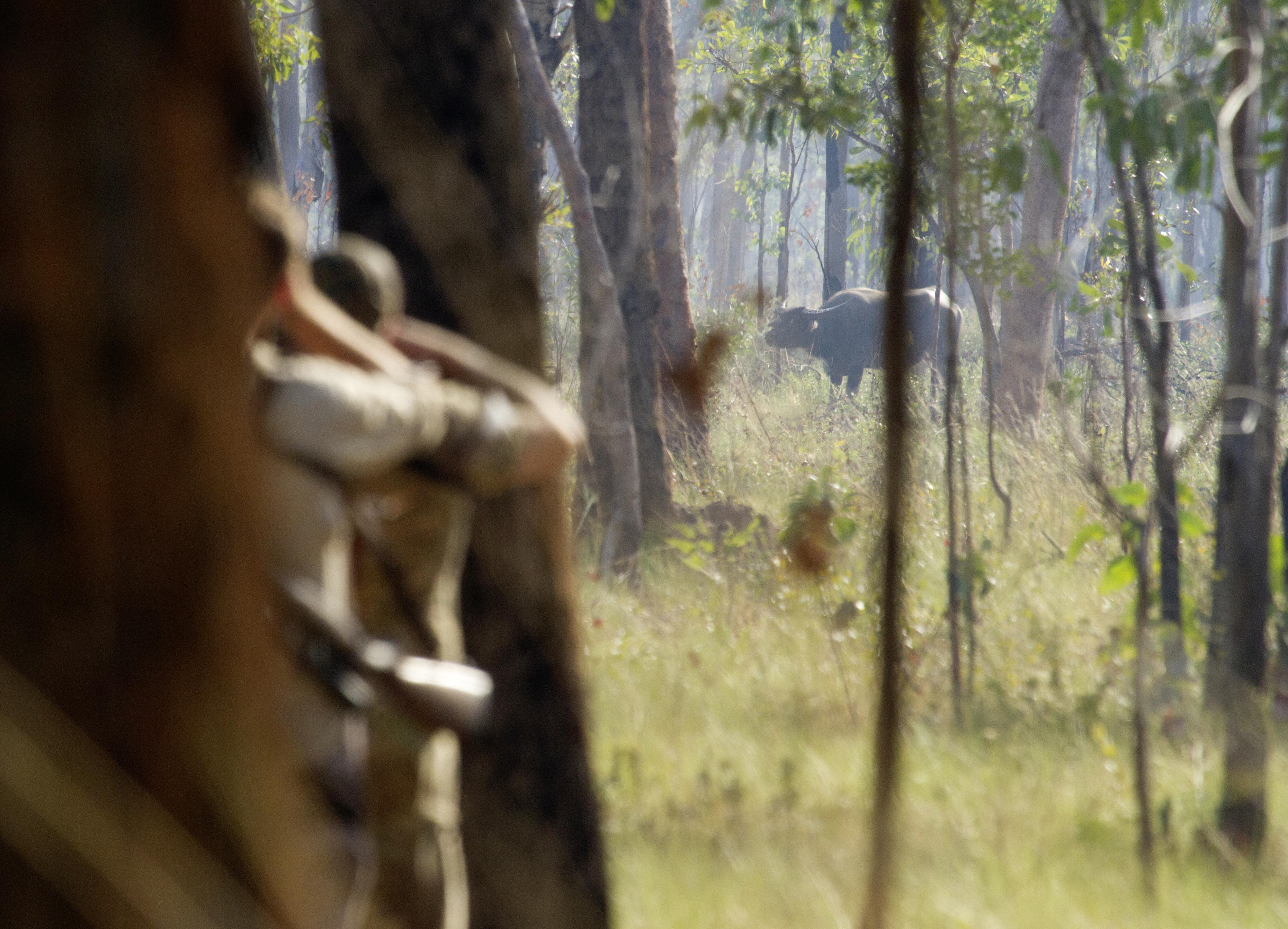 Wasserbüffel in Australien