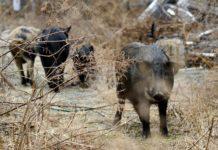 Wildschweine in Fukushima Japan