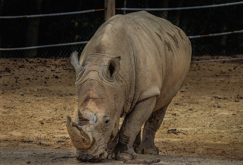 Breitmaulnashorn in Pariser Zoo erschossen