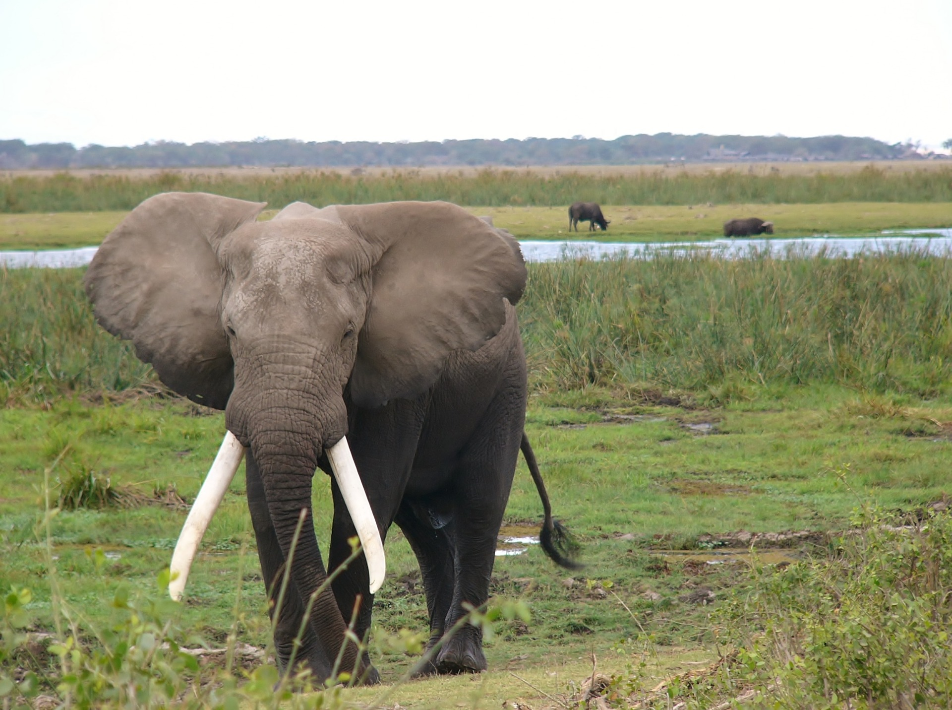 Elefant in Kenia Afrika gewildert