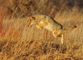 Kojote kann Wolf nicht ersetzen Studie