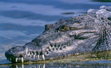 Berufsjäger von Krokodil gefressen