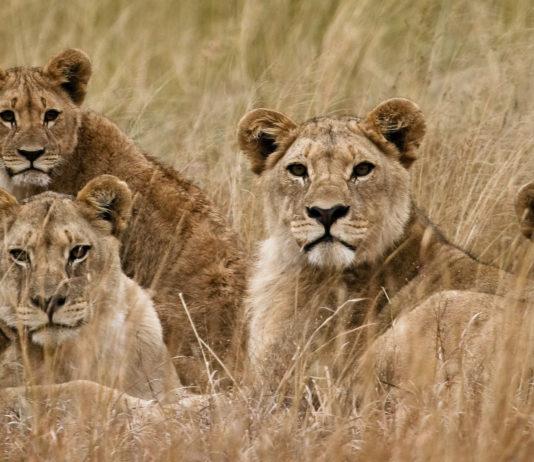 Löwen in Simbabwe