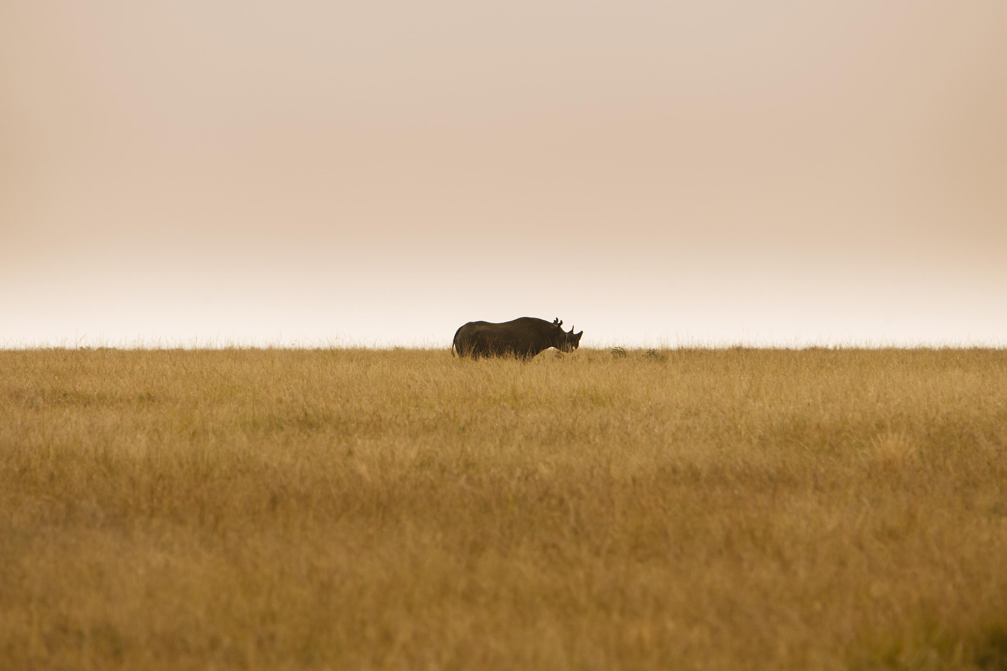 Nashorn in Südafrika