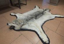 Zoll beschlagnahmt Wolfsfell