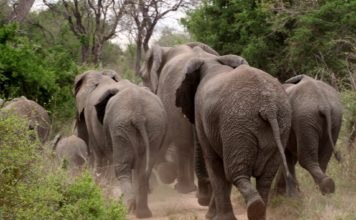 Elefantenjäger in Zimbabwe von Elefant zerquetscht