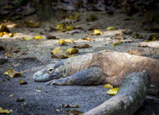 Komodowaran hat in Indonesien einen Toristen getötet