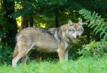 Wolf in St. Gallen zum Abschuss frei gegeben