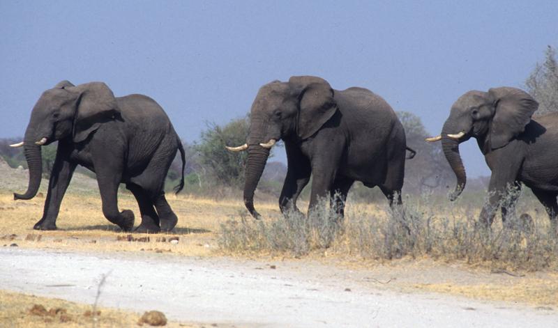 Afrikanischr Elefant