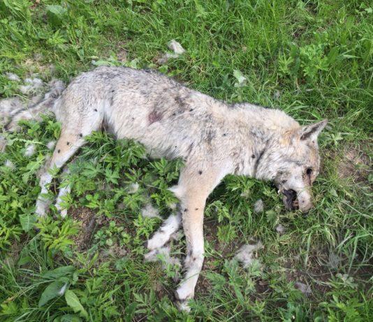 Wolf in Freiburg tot augefunden