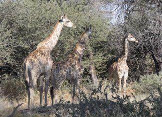Welttag der Giraffe