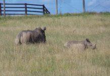 Nashorn-Auktion in Südafrika