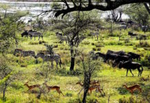 Zebras, Impalas und Gnus in Tansania im Wasser