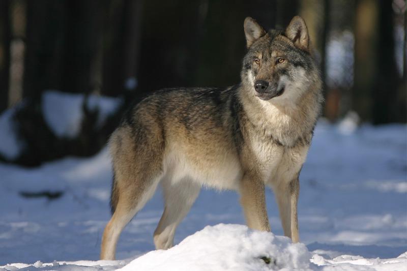 Wolf steht im Schnee