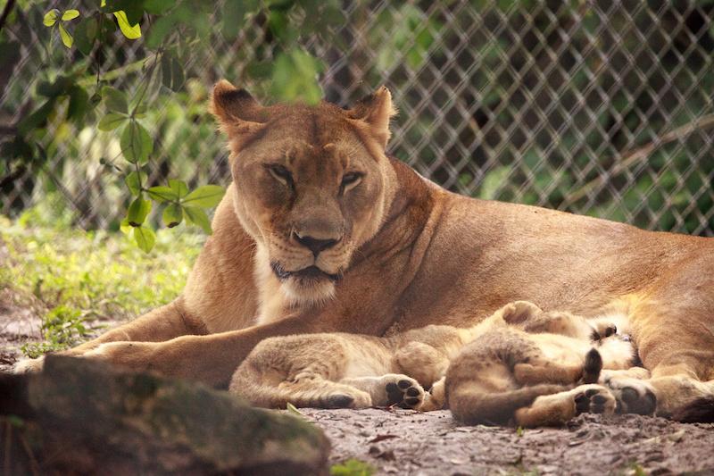 Säugende Löwin mit ihren Jungen in einem Gehege