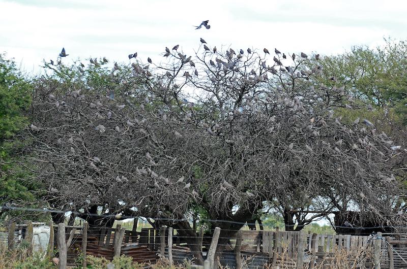 Tauben auf Baum